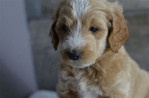 doodle puppies for sale in wisconsin 1000 images about mini goldendoodle puppies for sale on