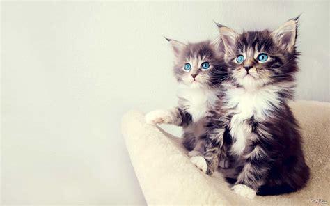 double cat wallpaper pixelstalknet