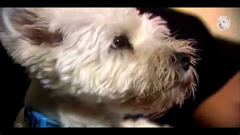 havanese animal planet animal planet dogs 101 havanese images