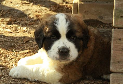 st bernard puppy for sale feed pictures bernard puppies puppy pictures