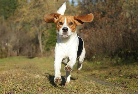 beagle alimentazione alimentazione beagle cani taglia media cosa mangia il