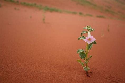 fiore deserto un fiore nel deserto foto di sossusvlei namib naukluft