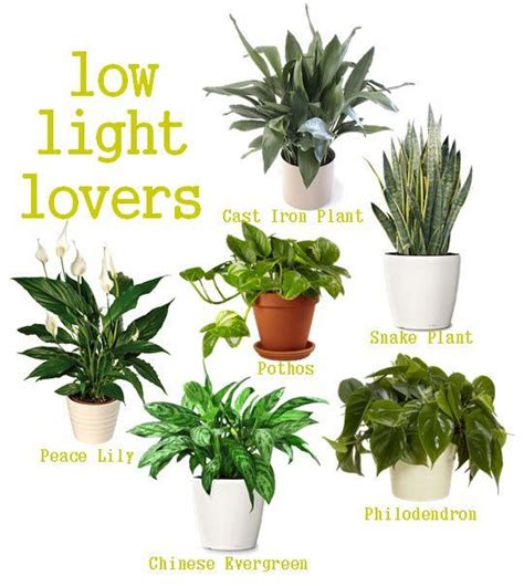 Houseplants For Low Light Areas | 25 best ideas about low light plants on pinterest