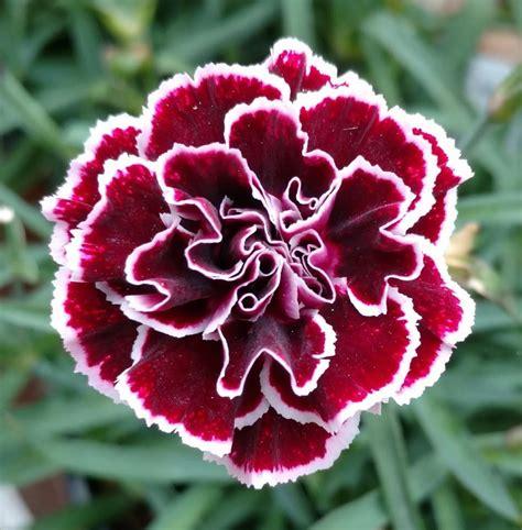 facts about carnations facts about carnations home design wall
