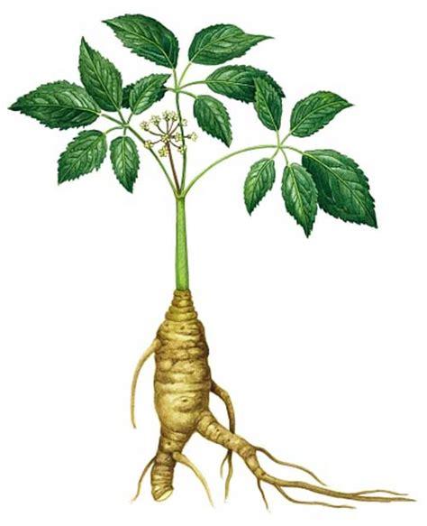 Ginseng Jawa richard whelan herbalist panax ginseng
