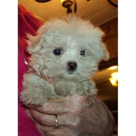 free puppies lakeland fl miniloves puppies shih tzu breeder in lakeland florida listing id 19604