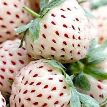 Bibit Benih Seeds White Alpine Strawberry Stroberi Putih Bibit Strawberry Putih White Strawberry
