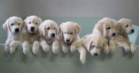ct golden retriever breeders golden retriever breeders ct merry