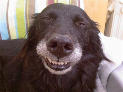 pictures of dogs smiling adorable smiling dogs from huffpost readers pictures huffpost uk