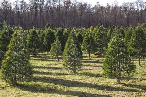 real christmas tree st joe tree farm