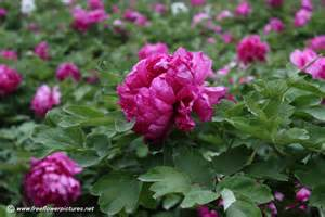 peony flowers peony picture flower pictures 909
