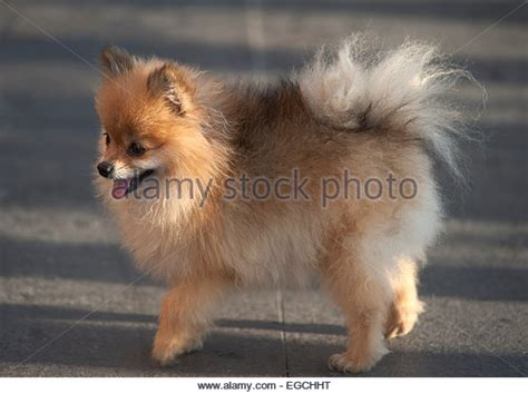 images of teacup dogs teacup stock photos teacup stock images alamy