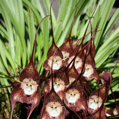 orchideen samen kaufen g 252 nstig kaufen 10stk dracula simia affe orchidee samen