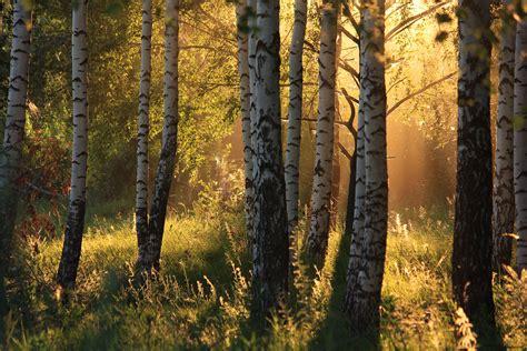sunset in the birch forest by hunterartworks on deviantart