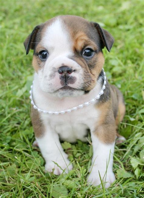 nyc puppies for sale bulldog puppies for sale new york ny 234372