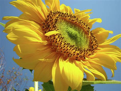 Medium Sun Flower 6 Cav I sunflower sunlit sun flowers 6 blue sky giclee prints baslee troutman photograph by baslee