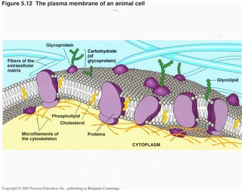 types  plasma membrane lipids label pictures  pin