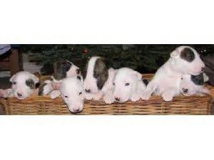 bull terrier puppies michigan bull terrier puppies in michigan