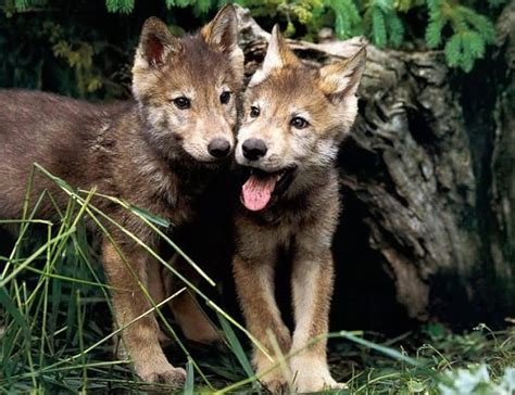 wolf s red wolf the biggest animals kingdom