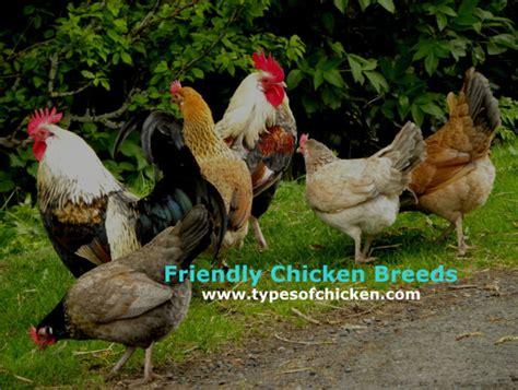5 family friendly chicken breeds types of chicken