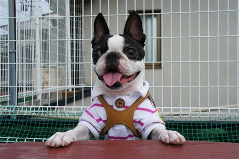 Do Boston Terrier Shed by Top 10 Breeds That Don T Shed Puppywire