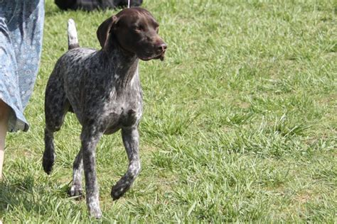 German Shorthair Shedding by Paws Aft Mck Gretchen On The Beyou S Kennel