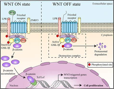 Wnt/beta-catenin pathway: modulating anticancer immune ... G Protein Coupled Receptors Pathway