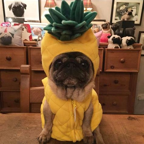 pug costume for 25 best ideas about costumes on