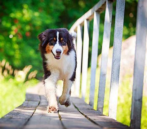 arthritis medication for dogs arthritis medication