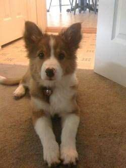 australian shepherd shih tzu mix auss tzu puppies for sale breeds picture