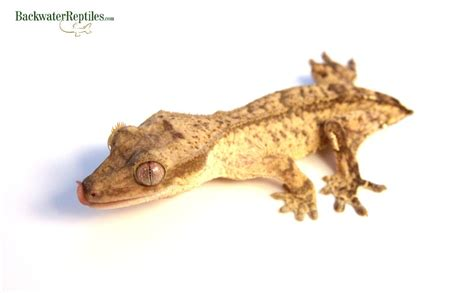 what to do if your crested gecko loses its