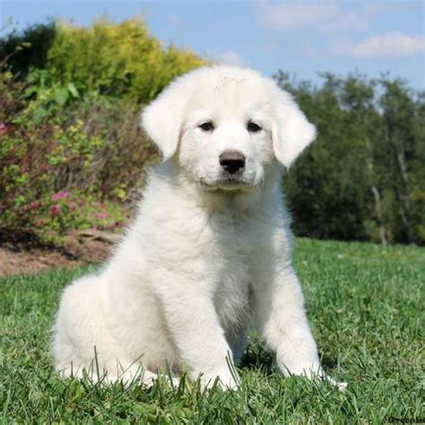 great pyrenees puppy great pyrenees puppies for sale greenfield puppies