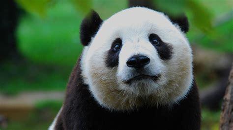 oso panda oso panda 0805087567 por glot 243 n un oso panda se queda atorado entre 2 barrotes video telemundo