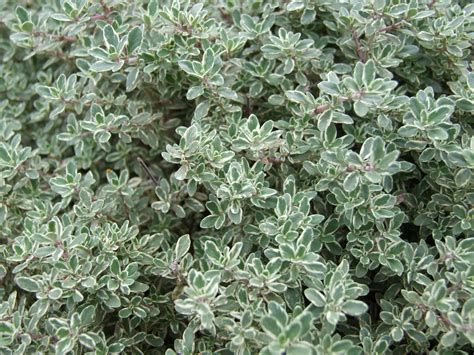 Thyme Herbs thyme planting growing and harvesting thyme the farmer s almanac