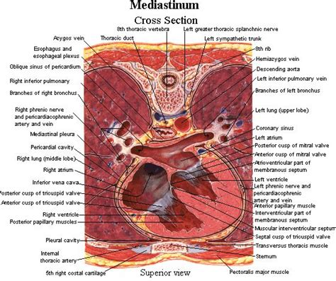 Transverse Cross Section by Mediastinum Labeled Cross Section Anatomy Physiology