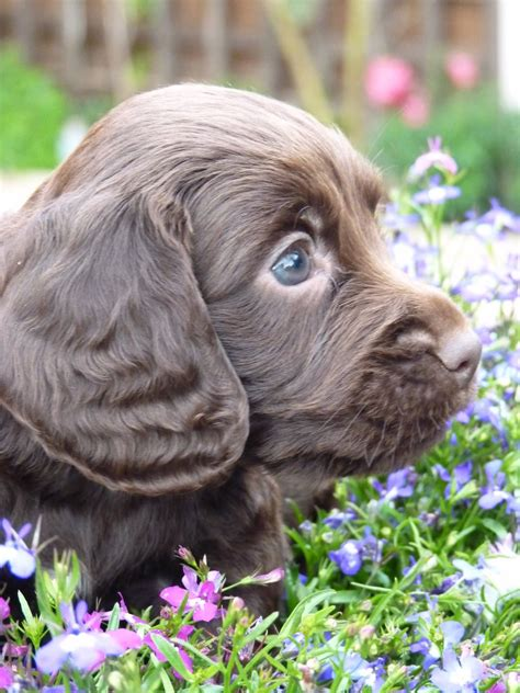 chocolate cocker spaniel puppies stunning chocolate cocker spaniel puppies bromsgrove worcestershire pets4homes