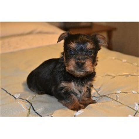 yorkies for adoption in arkansas pets camden ar free classified ads
