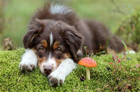 dogs eat mushrooms can dogs eat mushrooms list of mushrooms that are safe for dogs