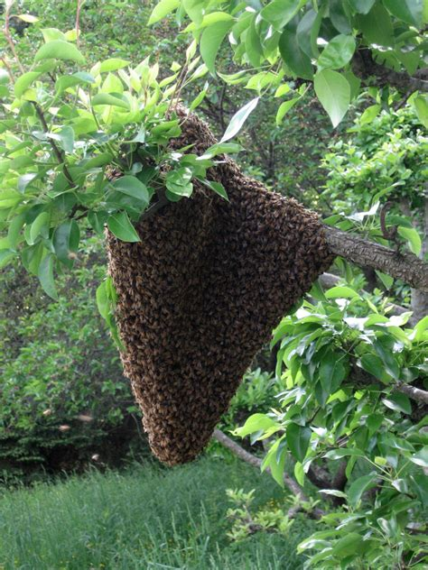 backyard honey bees bee swarm readiness gather your quot bee go quot kit now keeping backyard bees