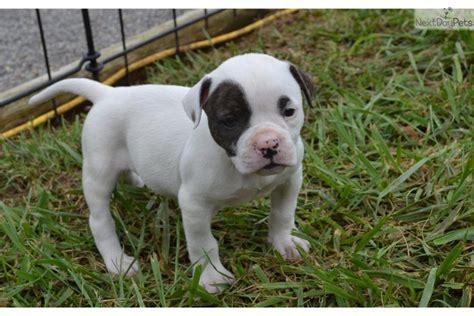 american bulldog puppies for sale in va american bulldog puppy for sale near new river valley virginia f2c49f8a ed51