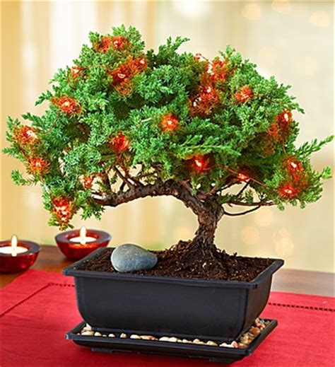 how do you bonsai christmas tree world record family a e bike record attempt across america with documentary
