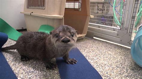 otter animals  sale arnold crossroads center arnold