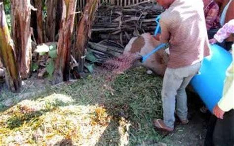 As Tahu Untuk Pakan Ternak cara aman membuat pakan fermentasi ternak kambing tips