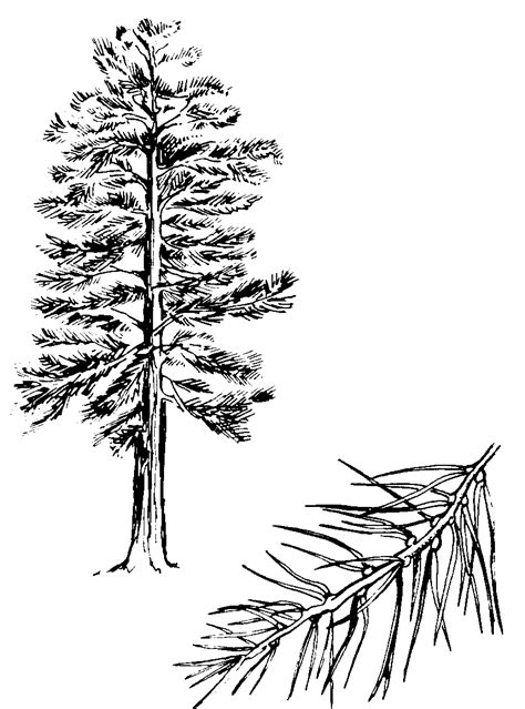 Pine Tree Outline by Pine Tree Outline Cliparts Co