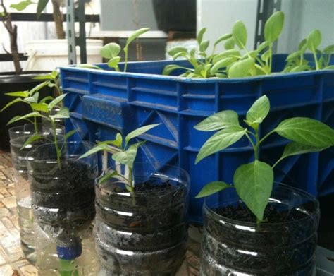 Pipa Hidroponik Surabaya cara menanam cabe rawit hidroponik menggunakan sistem wick