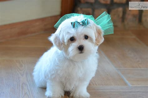 maltipoo puppies for sale near me malti poo maltipoo puppy for sale near dallas fort worth d4fd7e29 02f1