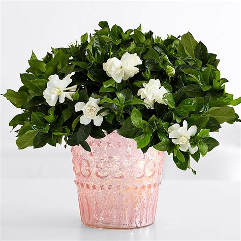 gardenia delivery potted flowers flower plants plants delivery