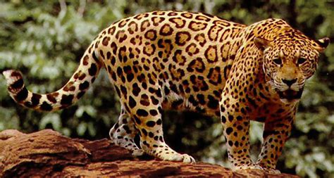 jaguar maine for jaguars armored prey is no obstacle science news