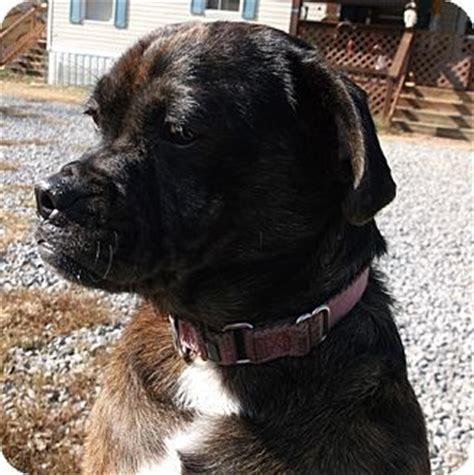 pug rescue portland portland me pug boston terrier mix meet prieta a for adoption