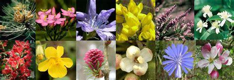 imagenes flores bach mejorar la salud con las flores de bach naturalmente
